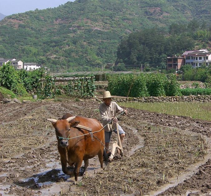 求2张1000万像素以上的牛耕地的照片